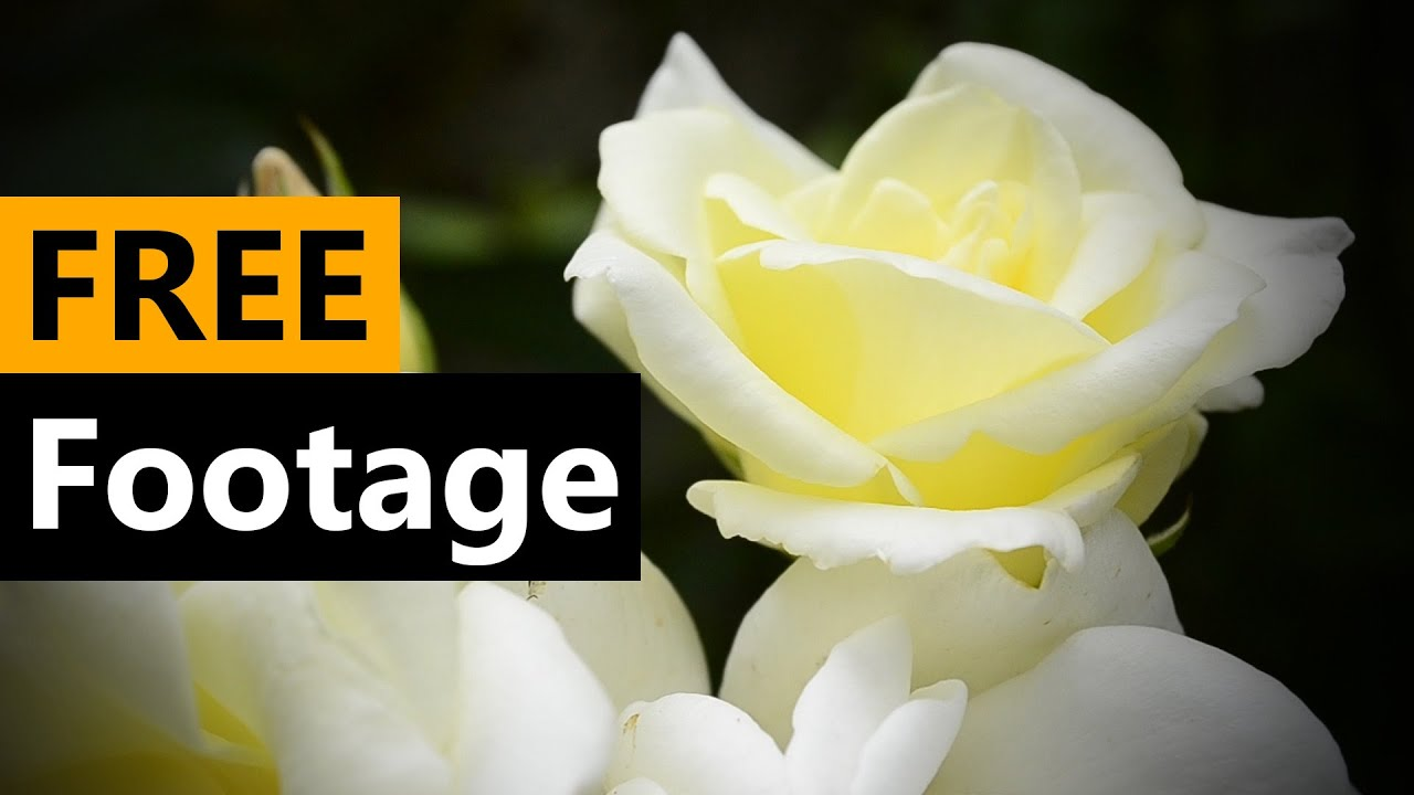 White Rose Flower Compilation Free Stock Video Footage Download