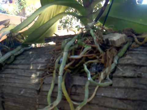 Como cultivar orqu dea doovi - Como cuidar orquideas en maceta ...