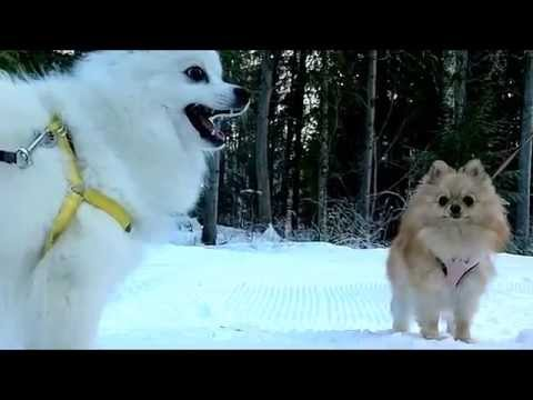 [#115] My Japanese Spitz meets the Pomeranian