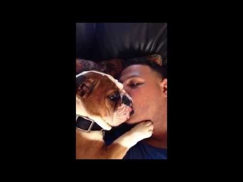 Adorable Bulldog Puppy Can't Stop Kissing Owner