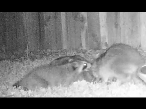 Raccoon Fight