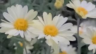 구절초, 넓은잎구절초·구일초(九日草)·선모초(仙母草)·…
