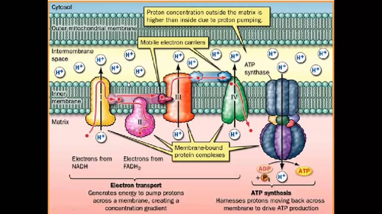 Fosforila U00e7 U00e3o Oxidativa