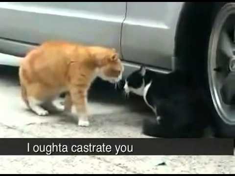 Cats shouting at eachother