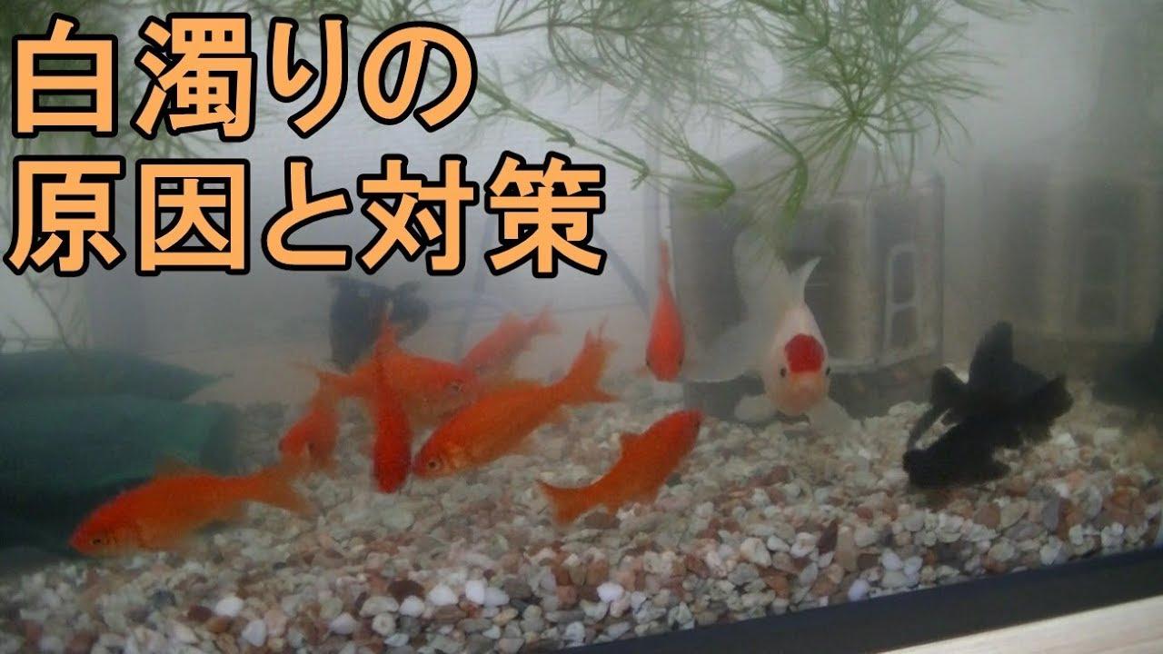 金魚の水槽が白濁りする原因と対策 - YouTube