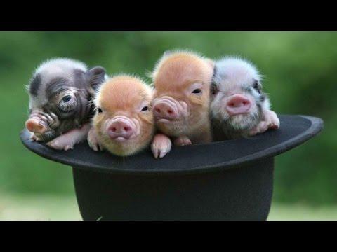 Очаровательные Маленькие Свиньи (хрюшки - поросята) - Сборник NEW без регистрации и смс