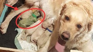 MUCKY PUP Dog owner stunned after her golden retriever gave birth to a GREEN puppy