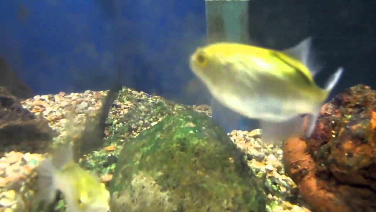 Freshwater aquarium puffer fish questions - Freshwater Aquarium Puffer Fish Questions