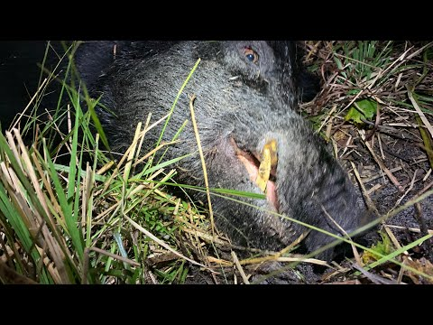 """WILD BOAR HUNTING with a """"HOUSE DOG""""! SWFL ~Catch and Release ~"""