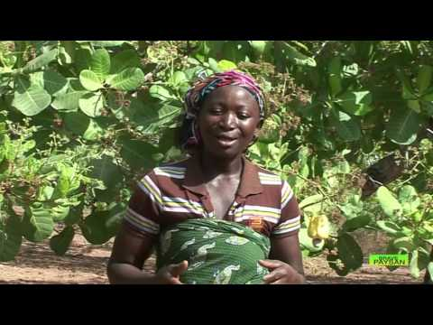 BRAVE PAYSAN I Focus sur le  Projet CORAF pour l'amélioration des revenus des planteurs d'Anacarde
