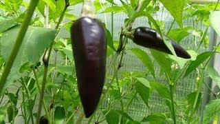 ⟹ Hungarian Black - Pepper 2nd taste test RIPE !!