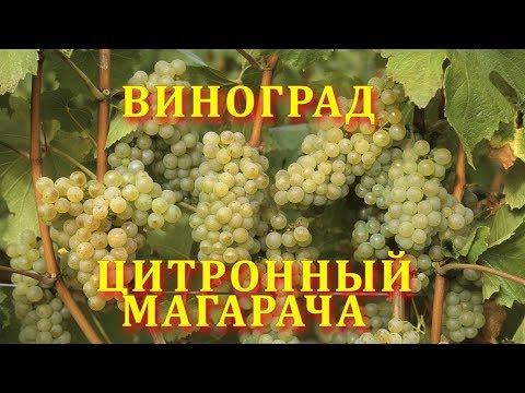 Виноград Цитронный Магарча (grape citron magaracha)