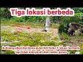Pikat Kutilang Bertarung Tanpa Henti Ganas Di  Lokasi Pulut Lidi  Mp3 - Mp4 Download