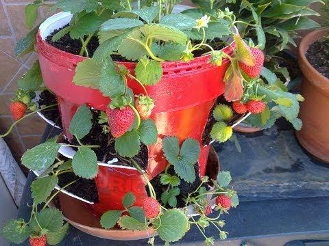C mo plantar fresas en maceta recolecta parte 2 youtube - Plantar en maceta ...