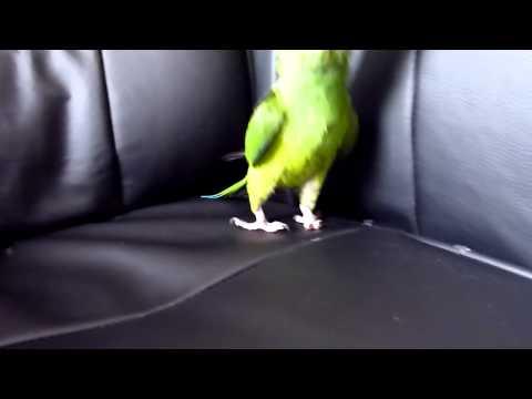 Funny conure behaviour