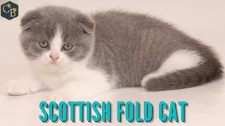 Scottish Fold  The cat with a little baby kitten face.