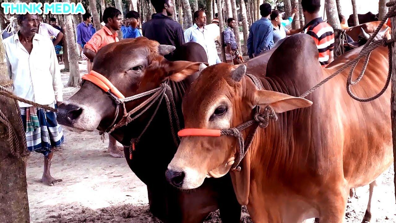 Download REALLY BIGGEST COW MARKET IN BANGLADESH || KURBANIR   COW HAAT 2019 || কোরবানীর গরুর হাট