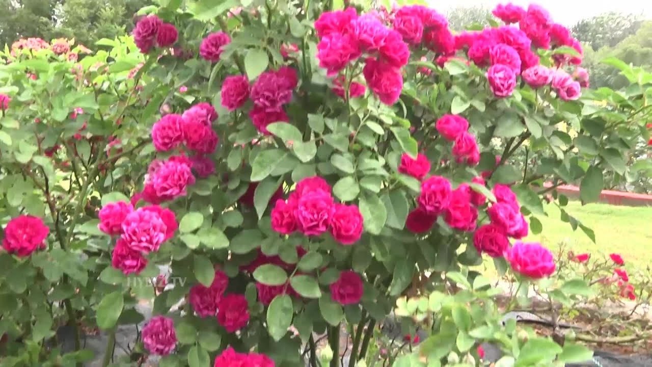 Most Beautiful Rose Garden In India At Sanjeevaiah Park Hyderabad Hybiztv