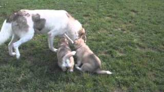 Sacred Song Indian Dog puppies 5 wks..AVI