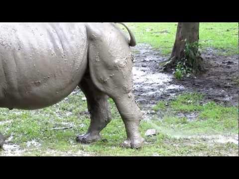 Jak sika nosorożec?