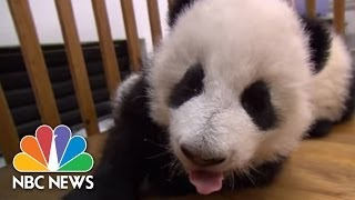 Baby Pandas Learn To Walk