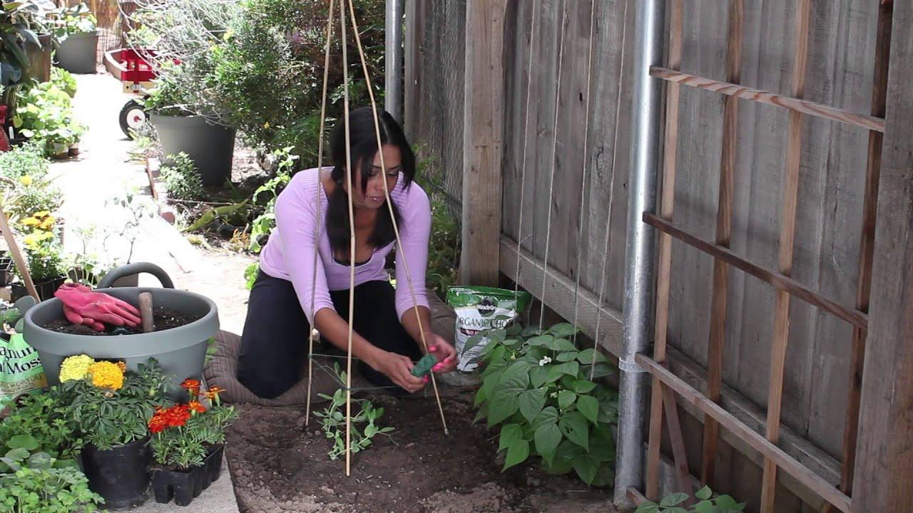 Chef Garden: How To String Up Sugar Snap Peas : The Chef's Garden