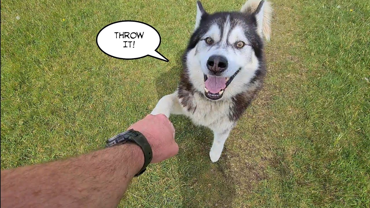 Broken Husky Argues with me after leaving the ball!