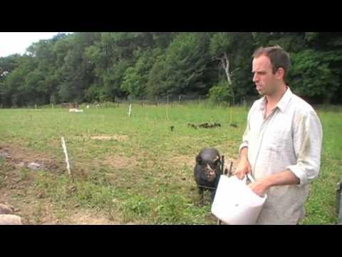 Feeding the Pigs at Church Farm, Ardeley