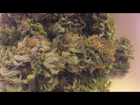 3x3 Tent LED Grow NYC Diesel Autoflower Update 17 (starting week 10 of flower)