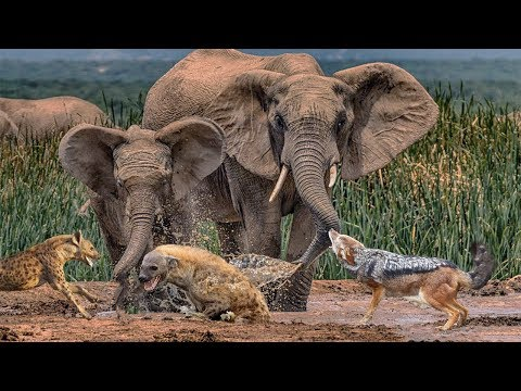 JACKAL AND HYENA HUNTING   Elephants Protect The Herd   Life In Africa