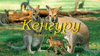 Кенгуру. Живая природа. Факты из жизни кенгуру.