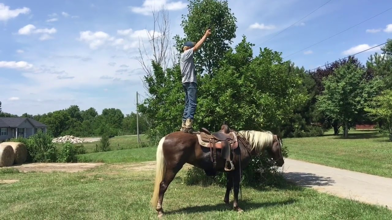 Marsha, gorgeous chocolate Palomino gaited rocky mtn trail mare for sale! Gaited