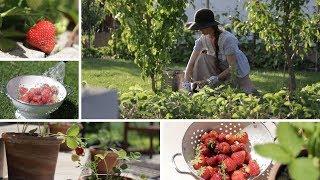 Sekret udanej uprawy truskawek