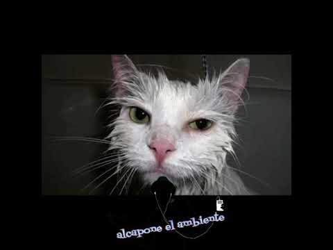 Top 7 : gatos hablando , buscando a Raúl