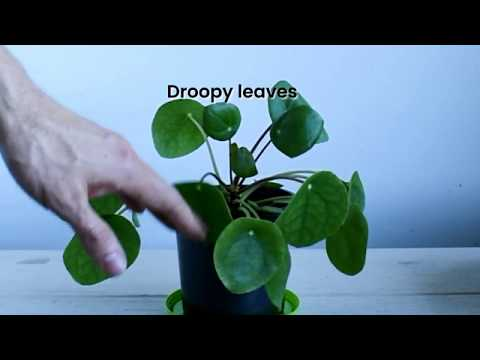 Pilea Peperomioides watering