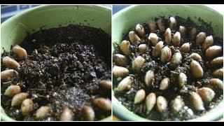 Ăn Chanh Xong ĐỪNG Vứt Hạt, Bỏ Ngay Vào Chậu Và Điều Bất Ngờ Xảy Ra Sau Đó