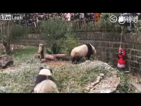 Little girl rescued from Giant Panda enclosure after falling in