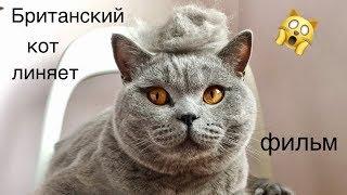 Терпеливый кот или Как  вычесать британского кота фурминатором  | British cat HARRY short film