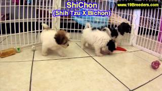 ShiChon, Puppies, For, Sale, In, Meridian, Idaho, County, ID, Ada, Canyon, Bonneville, Bannock, Bing
