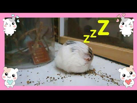 My Hamster Roborovski Sat Nodding By The Cage - Hamster's Kingdom