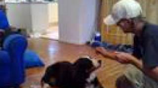 Jayda The Burnese Mountain Dog Doing Tricks, 10 Months Old!