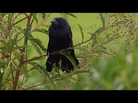 pássaro fauna brasileira sertaneja ANU CARNÍVORO animal silvestre selvagem sertanejo brazilian
