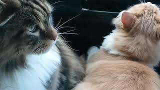 【mainecoon】だって猫だもん。【ドライブ】