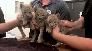 Watch Rescued Lynx Kitten Triplets Adorably Climb All Over Each Other