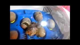 リトルママでヒメウズラ孵化に挑戦!Hatching of quail