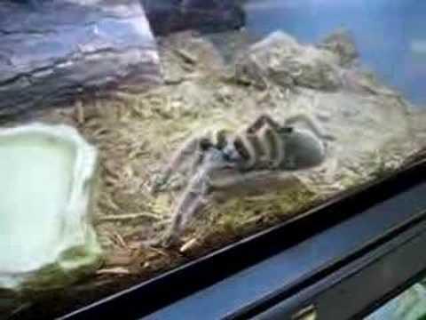 spider petco