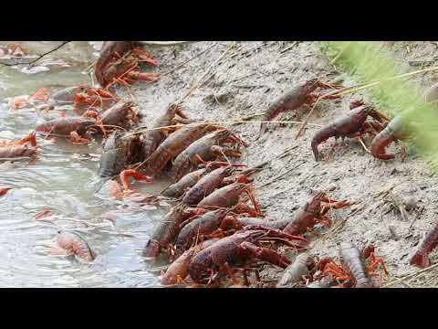 Red Swamp Crayfish AKA Crawfish Exiting Crawfish Pond Being Drained. (St. Landry Parish, Louisiana)