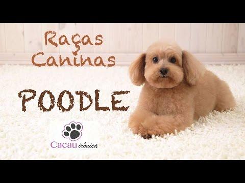 Raas Caninas - Poodle