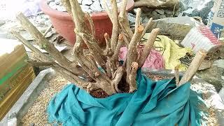 Cách trồng cây nguyệt quế rừng nảy mầm nhanh .( phần 2)