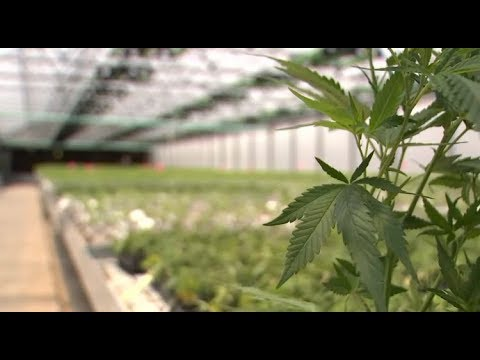 Growing Pains for Medical Marijuana in Florida | NBC 6